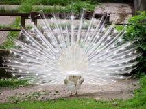 påfågelwhite Royaltyfri Bild