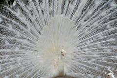 påfågelwhite Royaltyfria Bilder