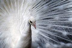 påfågelwhite Royaltyfri Foto
