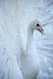 påfågelwhite arkivbild