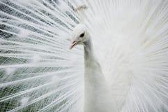 påfågelwhite Fotografering för Bildbyråer