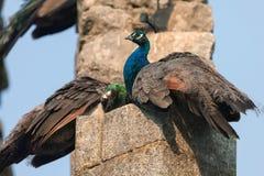 Påfåglar i den offentliga Evoraen parkerar ` s fejkar fördärvar Arkivbilder
