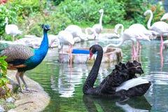Påfåglar och svanar spelar tillsammans i zoo Arkivfoto