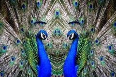 Påfåglar på skärm Arkivbilder