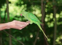 Pålagd försedd med krage parakiter en hand Arkivfoton