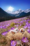Påskägg på krokusängen Chocholowska dal Royaltyfri Bild
