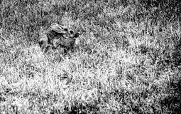 Påskkanin i ett fält Royaltyfria Bilder