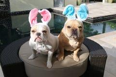 Påskkaniner för fransk bulldogg Royaltyfri Fotografi