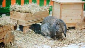 Påskkaniner spelar, äter, vilar i paddocken