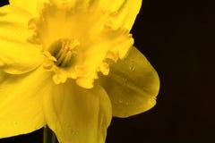 påsklilja arkivfoto