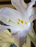 Påsklilja Royaltyfri Fotografi