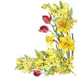 Påsklilja mimosa, tulpanblommor, hörn, vattenfärg, modell Royaltyfria Bilder