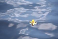 Påsklilja som driver i blått vatten Arkivfoto