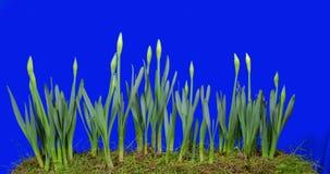 Påskliljan blommar från kula till att blomma stock video