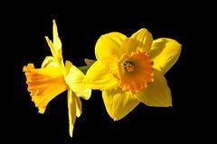 Påskliljan blommar i solljus Arkivfoto