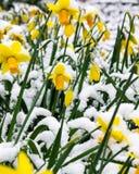 Gula påskliljar i snowen Fotografering för Bildbyråer