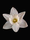 påskliljawhite Royaltyfria Foton