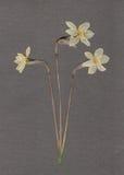 Påskliljor Arkivbild