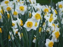 Påskliljor av våren arkivfoton