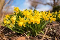Påskliljor blommar i vår framme av blå himmel arkivbilder