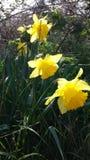 Påskliljor det lösa livet i min trädgård, guling blommar Royaltyfri Bild