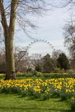 Påskliljor i blom royaltyfri bild