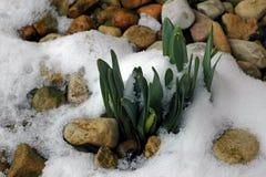 Påskliljor i snön och vaggar royaltyfri foto