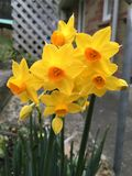 Påskliljor i trädgård Arkivfoton
