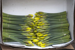 Påskliljor i zink skrålar Royaltyfria Bilder