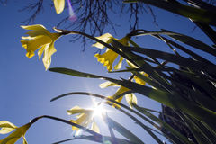 Påskliljor på en bakgrund för blå himmel Royaltyfri Fotografi