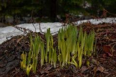 Påskliljor som spirar efter lång vinter royaltyfri bild