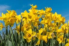Påskliljor som står högväxta i vårsolsken Royaltyfri Fotografi
