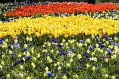Påskliljor tulpan, anemoner i blomsterrabatt Arkivfoton