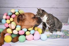Påskståenden av en Tabby Manx katt och en boxare föder upp hunden arkivbild