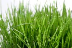 Påskvetegräs med regndroppar Royaltyfria Bilder