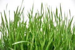 Påskvetegräs med regndroppar Royaltyfri Foto