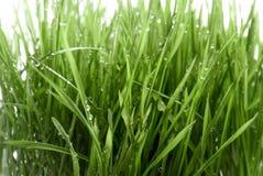 Påskvetegräs med regndroppar Royaltyfria Foton