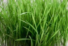 Påskvetegräs med regndroppar Fotografering för Bildbyråer