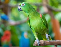 påskyndad amazon orange papegoja Arkivbilder