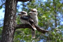 påskyndad blå kookaburra Arkivfoto