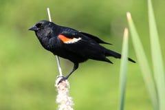 påskyndad blackbirdred arkivfoto