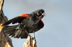 påskyndad blackbirdred Royaltyfri Fotografi