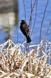 påskyndad blackbirdred Royaltyfria Bilder