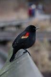 påskyndad blackbirdred Fotografering för Bildbyråer