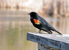 påskyndad röd thornhill 2010 för blackbird Royaltyfria Bilder