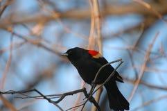påskyndad red för 3 blackbird Fotografering för Bildbyråer