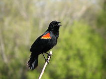 påskyndad red för 4 blackbird Arkivfoton
