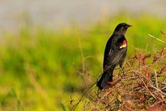 påskyndad svart red för fågel fotografering för bildbyråer