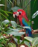 påskyndade macaws för arachloropterusgreen Royaltyfri Fotografi