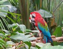 påskyndade macaws för arachloropterusgreen Royaltyfria Bilder